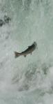 moricetown-pink-salmon-jump